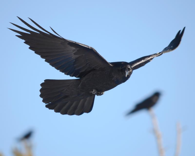 Raven Flyby by Canislupuscorax