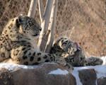 The Always Majestic Snow Leopard