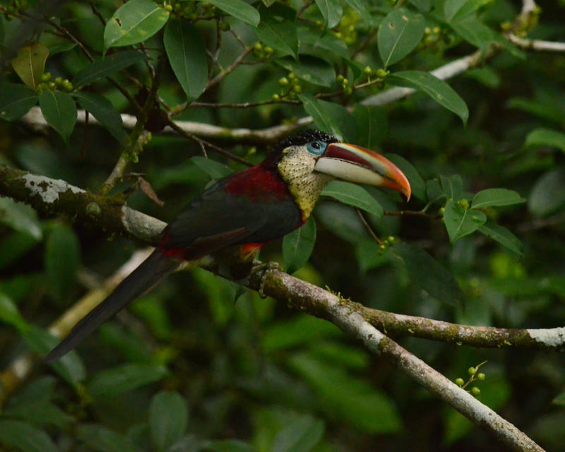 Curl-crested Aracari by Canislupuscorax