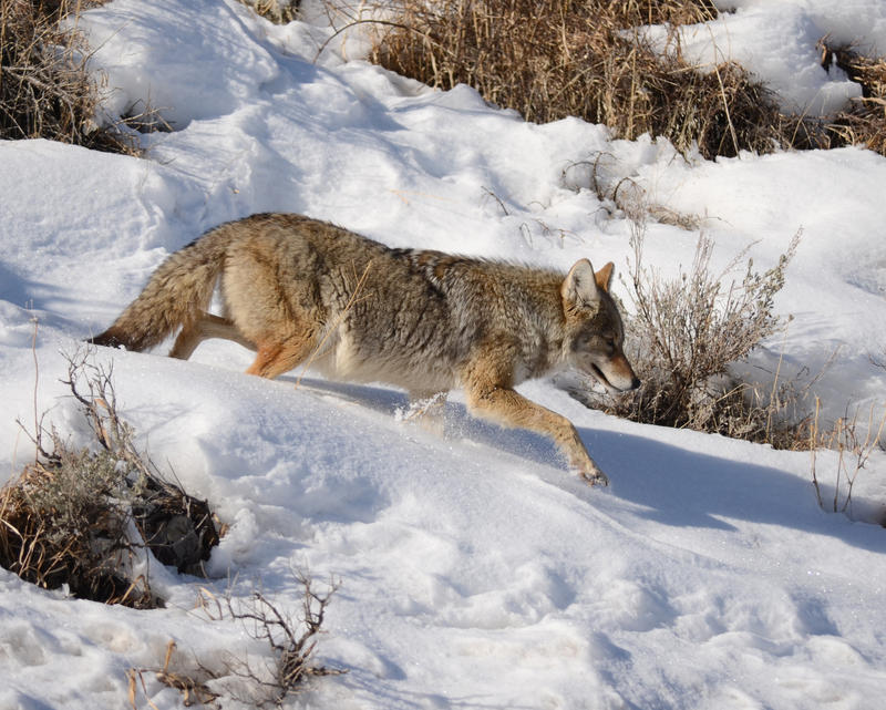 Winter Coyote by Canislupuscorax