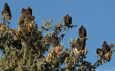 Vulture Roost