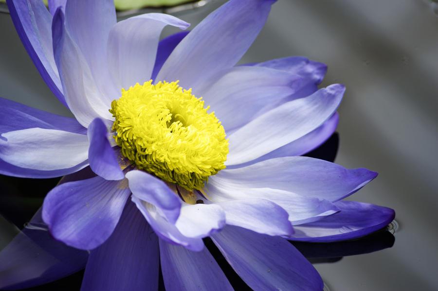 Water Flower by loukapics