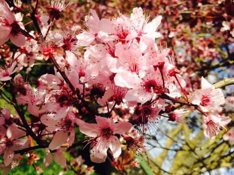 Fleurs de cerisier japonais