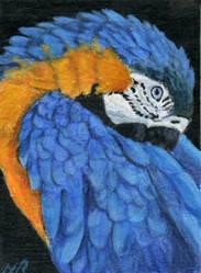 Sleepy Macaw