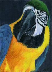 Cheeky Macaw