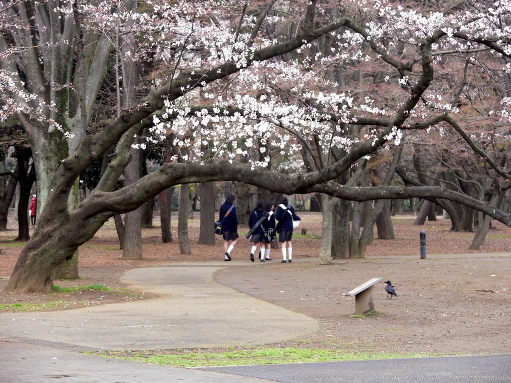 School Girls walking under Sakura blossoms by NetSenshi