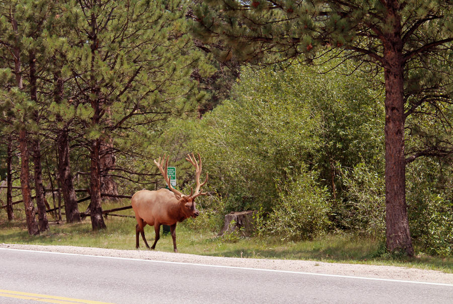 Elk Crossing by FranklymyDeer