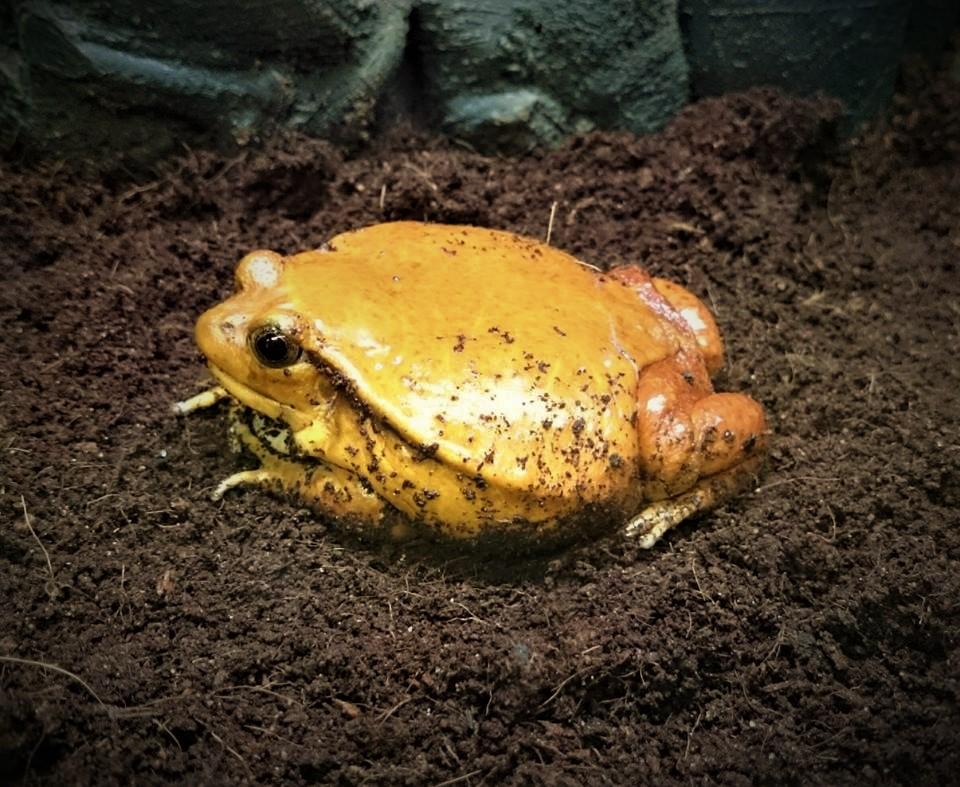 Tomato Frog by d4rkhe4vn