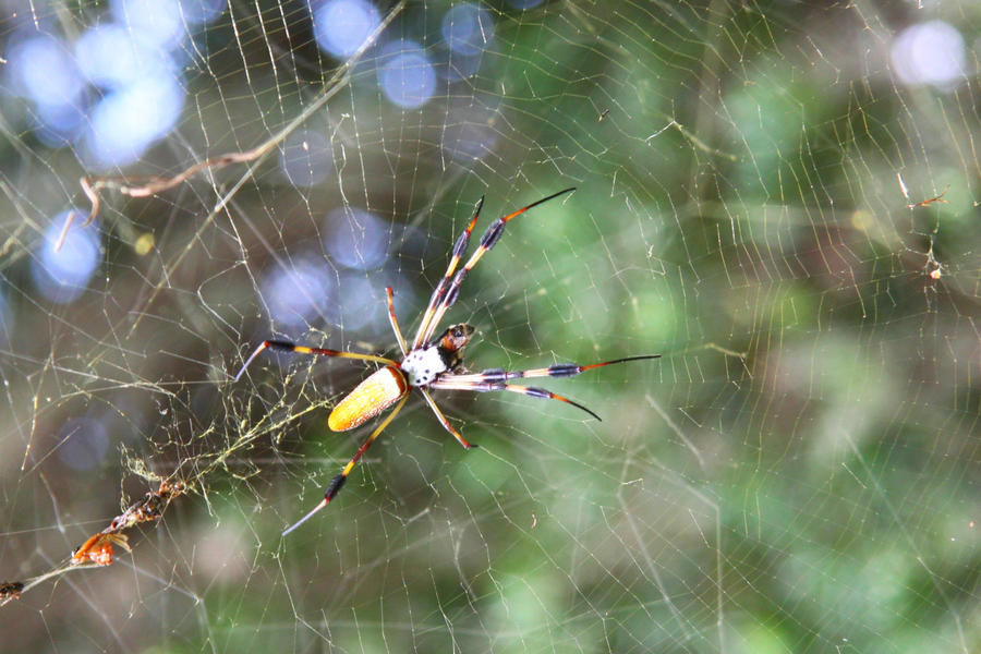 Gallery For > Man Eating Spider