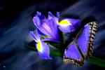 Iris mit Schmetterling        Iris with butterfly
