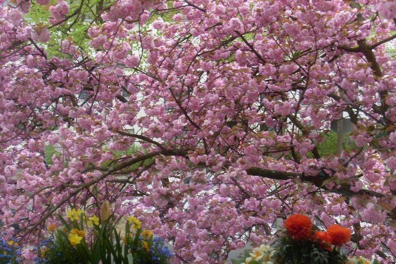 Kirschbaum - Cherry Tree by rembrantt