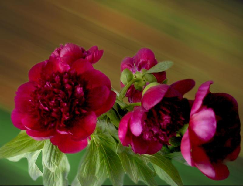 Pfingstrosen zum Muttertag- Peony for Mother's Day by rembrantt