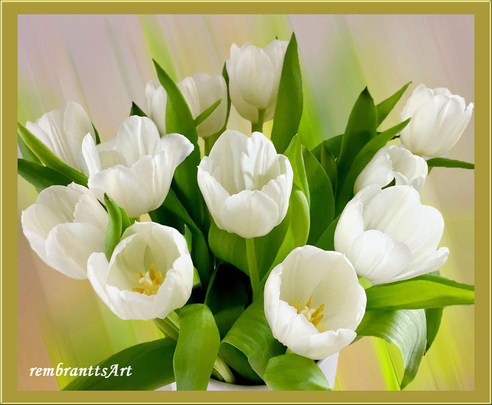 Tulpen weiss - tulips white by rembrantt