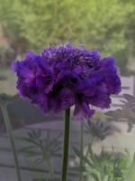 Purple flower by rembrantt