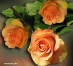 Rose Orange by rembrantt