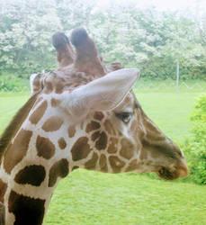 Hello Giraffe by KurtBeard