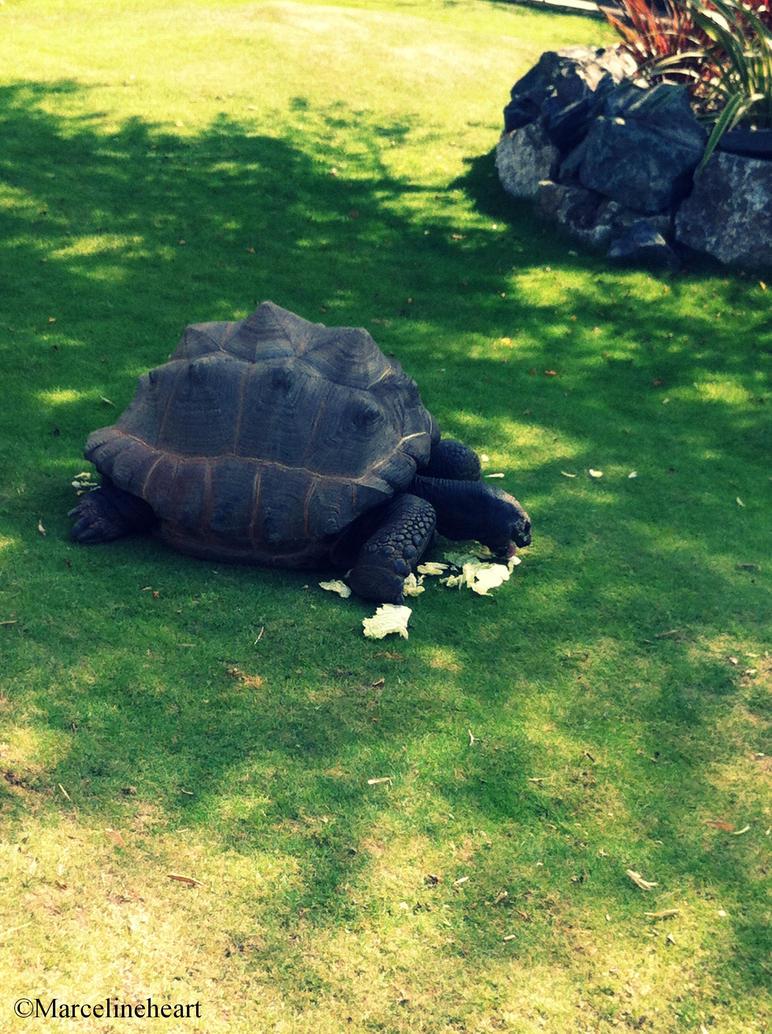 Large Tortoise by Marcelineheart