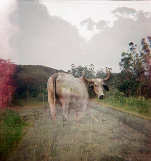 The cow and the road