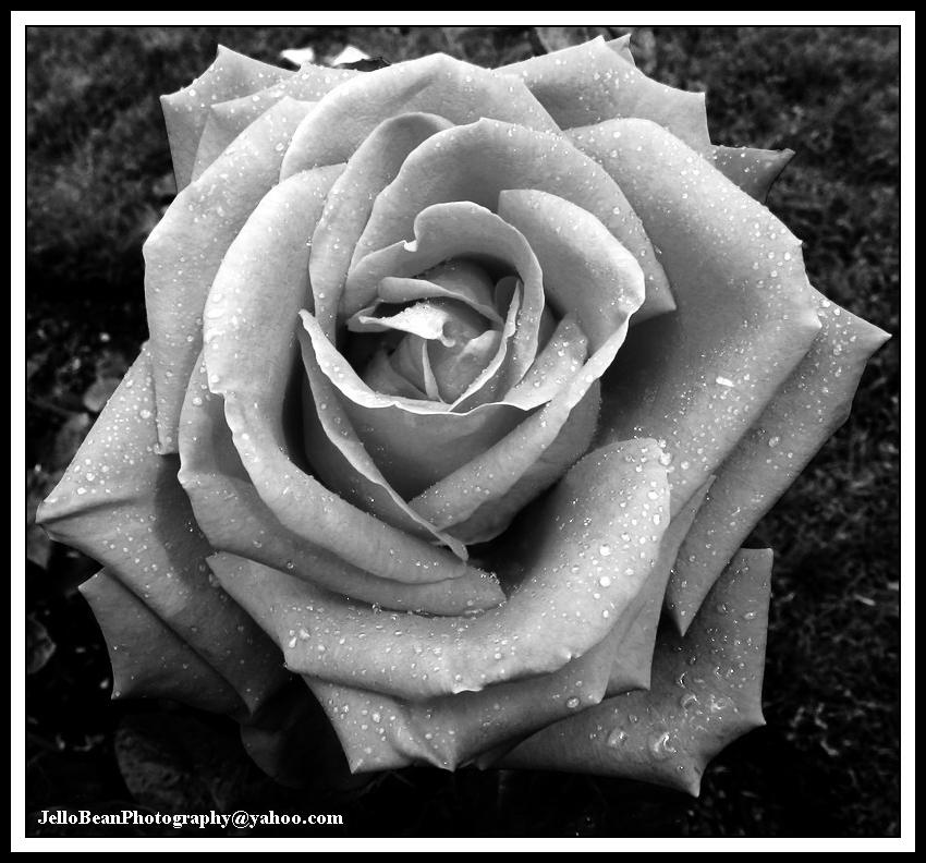 Dewy rose in black and white by jellobean on deviantart dewy rose in black and white by jellobean mightylinksfo