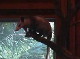 Possum Yawn by leopardwolf