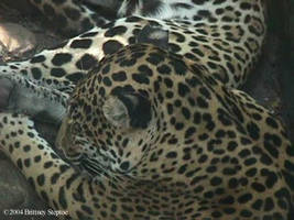 Jaguar Two Of Three by leopardwolf