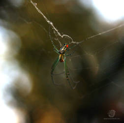 Venusta Orchard Spider 1 by leopardwolf