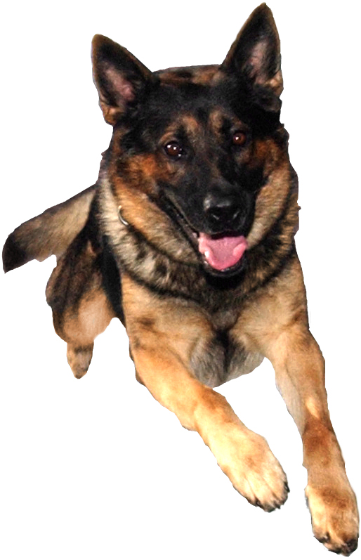 German Shepherd Puppies For Sale In West Palm Beach Florida