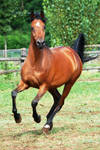 Galloping Arabian-Front View-stock