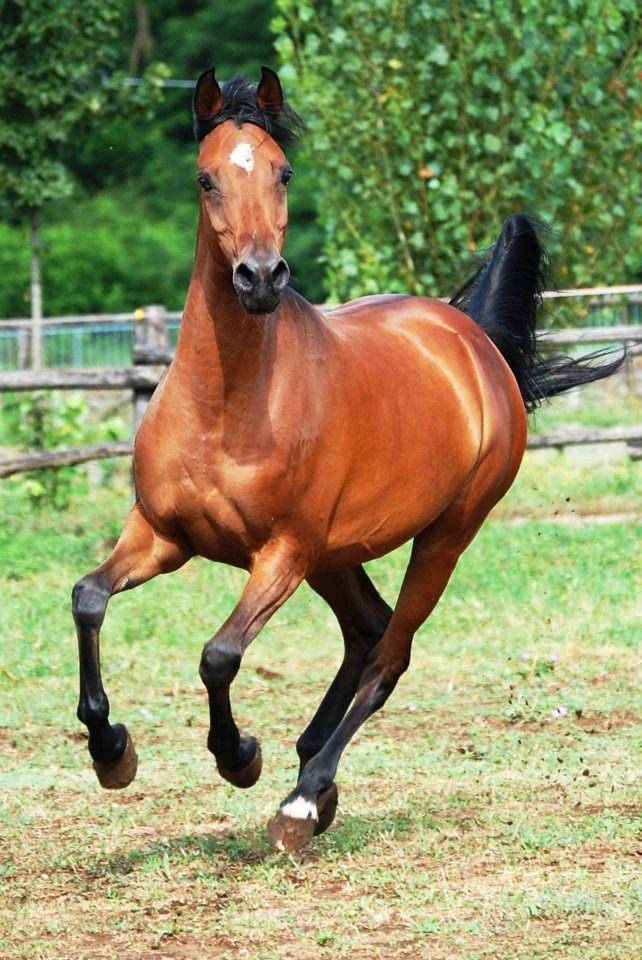 Galloping arabian front view stock by folipoo on deviantart galloping arabian front view stock by folipoo sciox Choice Image