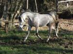Grey arab trot- head down