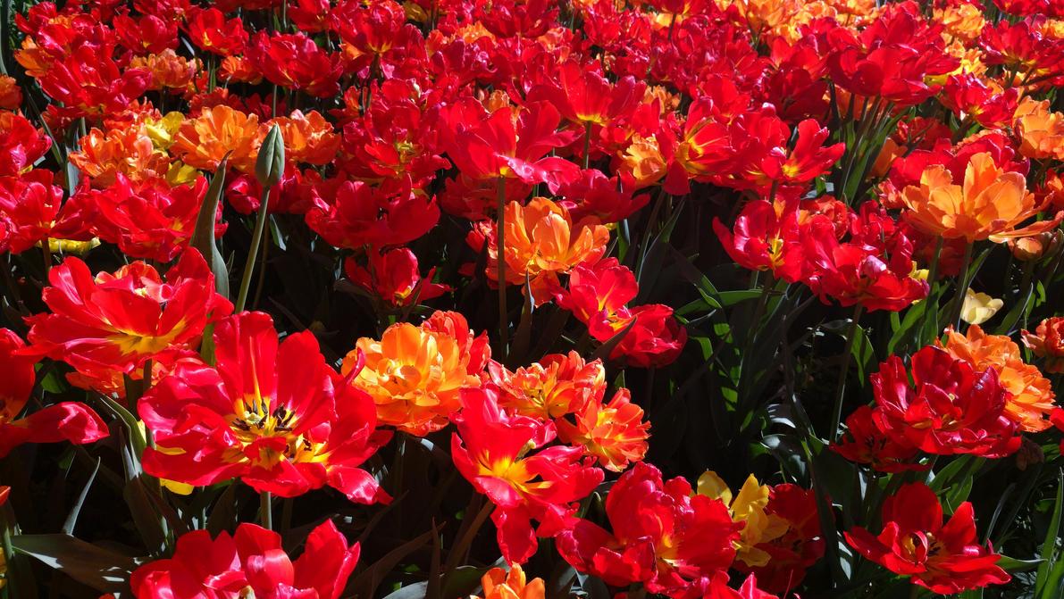 Tulips by luisfccorreia