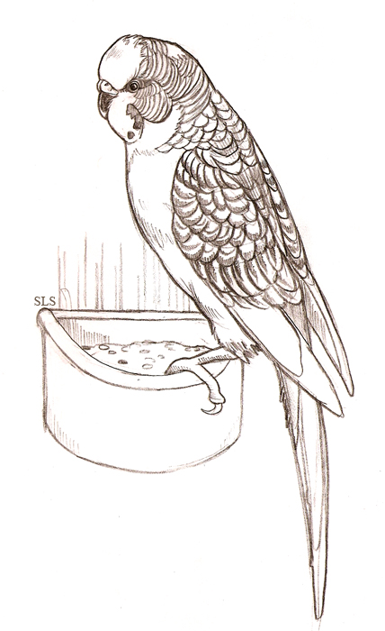 budgie coloring pages - photo#30