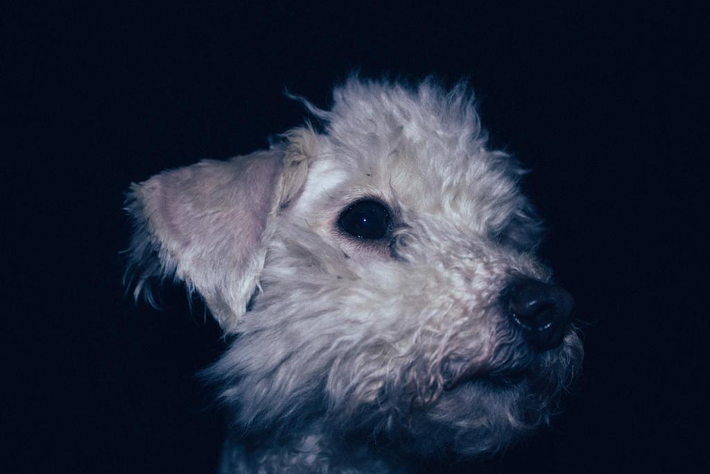 Muddy Poodle-Face by wetdryvac
