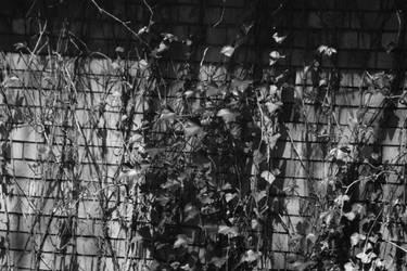 An Ivy Wall