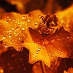 Honey Dew by Lilyas