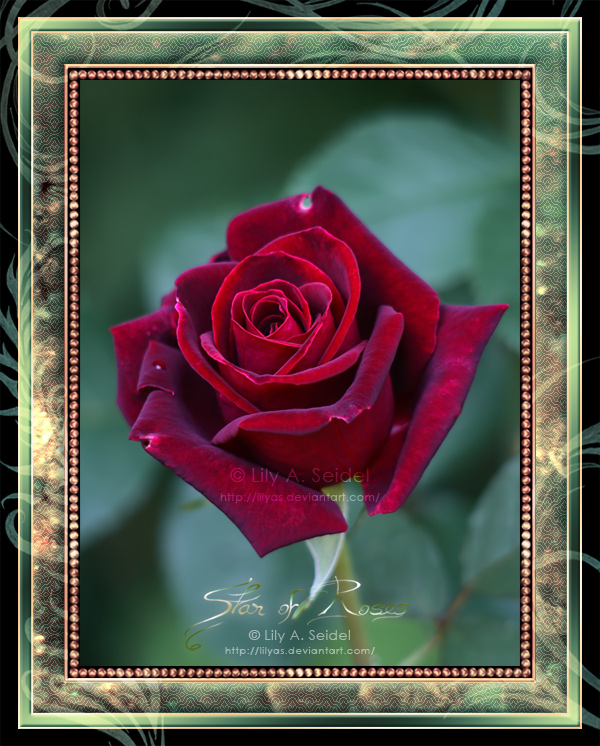 Star of Roses by Lilyas