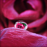 Refracted Rose by Lilyas