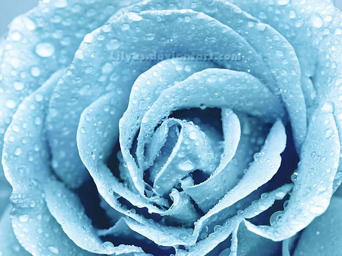 The gallery for --> Blue Winter Rose