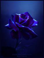 Midnight Rose by Lilyas