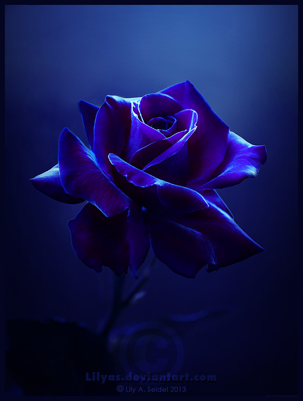 Midnight rose by lilyas on deviantart for Buy black and blue roses