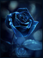 Late Night Rose by Lilyas