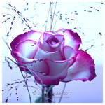 Distant Purple Rose