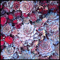 Houseleek - Spiky Roses