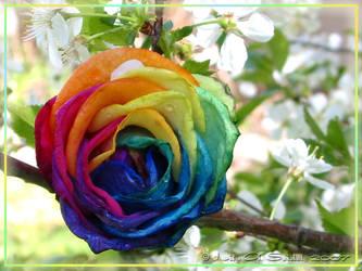 Miracula Rosae by Lilyas