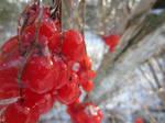 Red Winter Berries 4