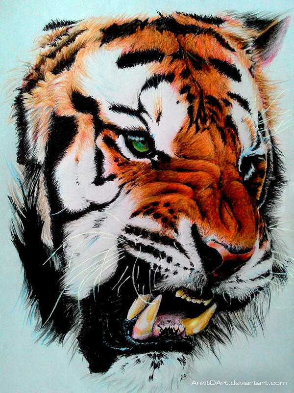 tiger color pencil drawing by ankredible - Color Drawing Pictures