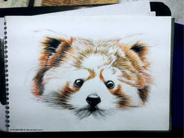 Red Panda - Color pencil Doodle by Ankredible