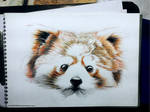 Red Panda - Color pencil Doodle