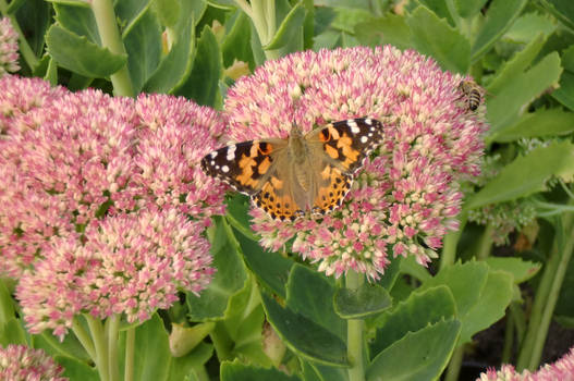 Painted Lady on the Rest