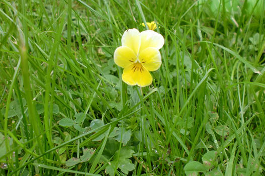 Yellow Horned Violet